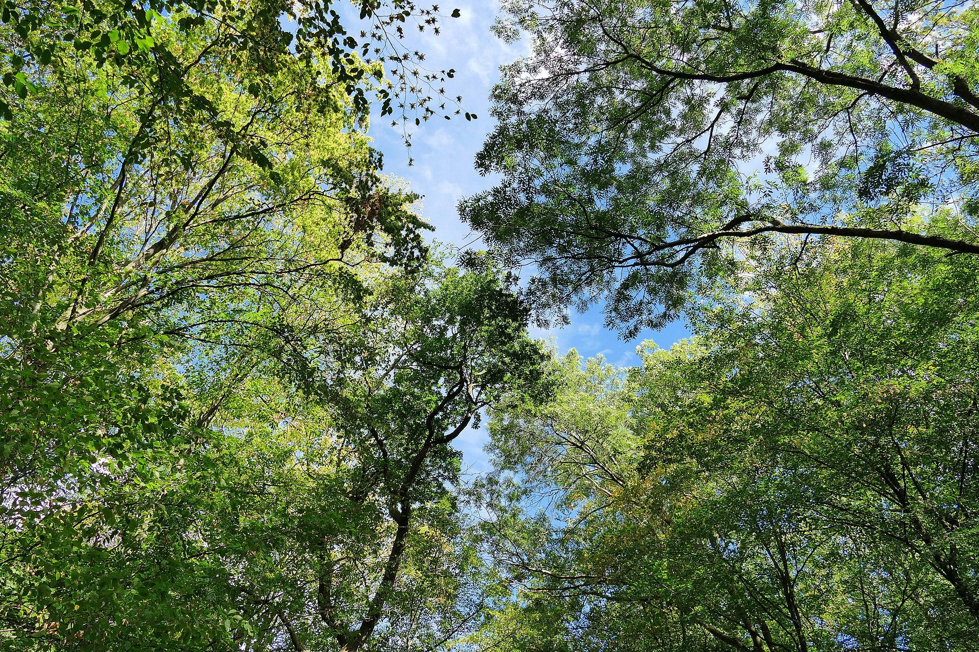 Baumkronen Hambacher Forst, September 2018. Foto: Kimba Reimer / CC BY 2.0